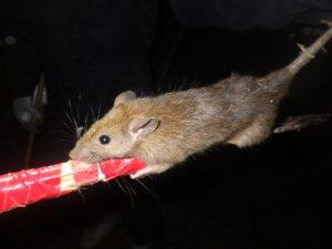 クマネズミの画像 p1_31