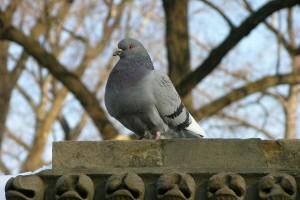 Rock_Pigeon_Columba_livia_3264px[1]