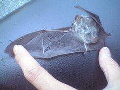 245px-Bat_(open_wing)[1]