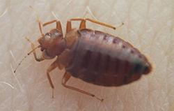 250px-Bedbug004[1]
