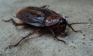 barata-cucaracha-cockroach