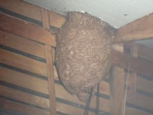 スズメバチの時期が始まっています。