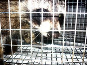 アライグマ 農作物などの被害をもたらす有害獣