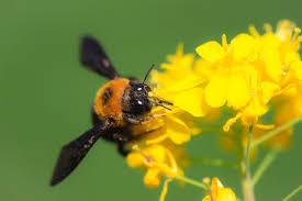 クマバチ、その特徴