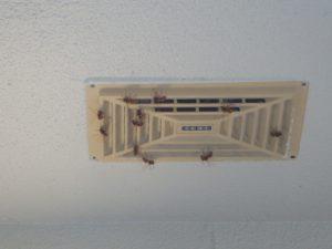 キイロスズメバチが天井裏に入る場所