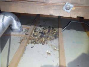 天井にできるシミはチョウセンイタチのフンによるもの。