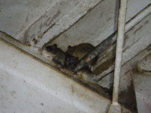 天井裏での物音はネズミだけではないかも