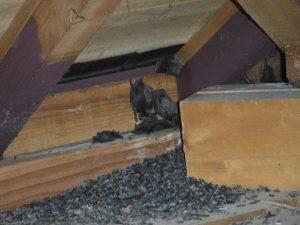 コウモリ被害~天井裏のフン~