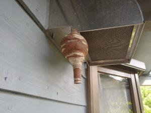 スズメバチが巣作りを始めています。