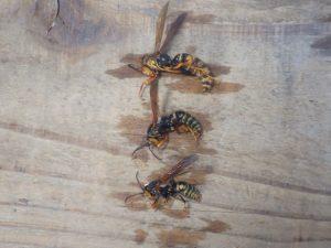 セグロアシナガバチの駆除を・・・