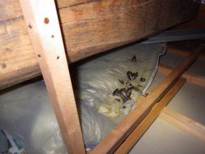 天井裏で物音、調査中に目の前をテンが・・・