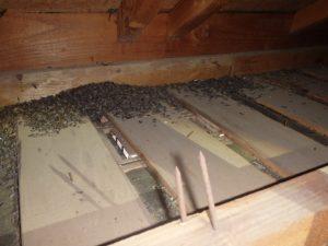 アブラコウモリが侵入したら天井裏は?