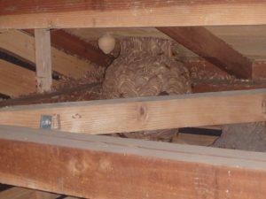天井裏にいるキイロスズメバチは気づきにくい。