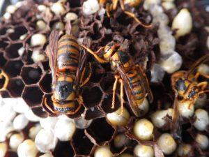 キイロスズメバチはどんどん危険になる