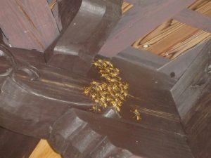 アシナガバチは巣が無くても危険。