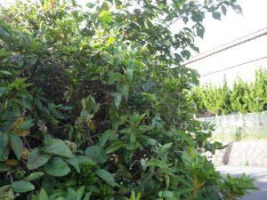 庭木の剪定は気を付けて、ハチの巣があるかも