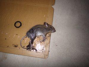 ネズミの点検
