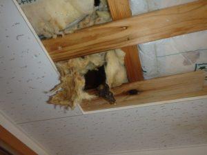 天井のシミや異臭はテンやイタチのフンの可能性がある。