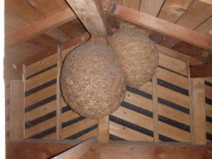 スズメバチ、アシナガバチの巣が大きくなり始めています。