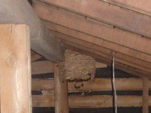 天井裏にモンススズメバチ生息。