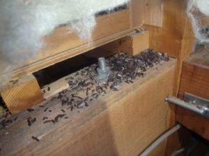 アブラコウモリのフン被害。防除作業。