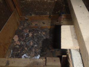 天井裏に侵入したイタチのフン清掃。