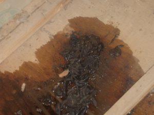 フン害による天井板のシミや悪臭。