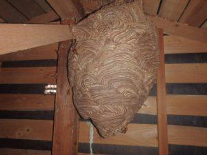 キイロスズメバチの見えない場所での営巣