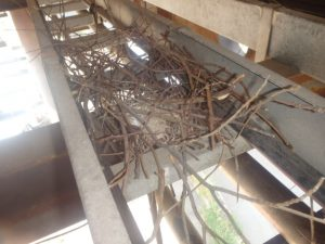 カラスの営巣。