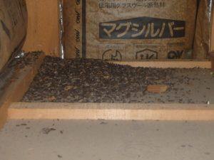 アブラコウモリの侵入によるフンの堆積