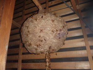 スズメバチの巣が巨大になっている時期。